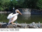 Купить «Пеликан», фото № 435909, снято 5 марта 2008 г. (c) Zlataya / Фотобанк Лори