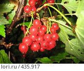 Купить «Красная смородина», фото № 435917, снято 2 августа 2008 г. (c) Андрей / Фотобанк Лори