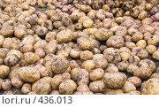 Купить «Картофель», фото № 436013, снято 31 августа 2008 г. (c) Ирина Солошенко / Фотобанк Лори