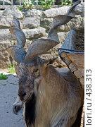 Купить «Винторогий козел», фото № 438313, снято 13 июля 2008 г. (c) Малютин Павел / Фотобанк Лори