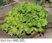 Купить «Салат на грядке», фото № 440305, снято 7 августа 2008 г. (c) Екатерина Слива / Фотобанк Лори