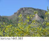 Купить «Цветущий караганник (желтая акация)», фото № 441981, снято 4 июня 2008 г. (c) Виталий Матонин / Фотобанк Лори