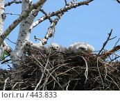 Купить «Птенцы коршуна», фото № 443833, снято 15 июля 2020 г. (c) Виталий Матонин / Фотобанк Лори