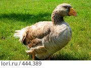 Гусыня на траве. Стоковое фото, фотограф Сергей Русаков / Фотобанк Лори