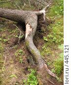 Купить «Сосны Валаама», фото № 445121, снято 6 августа 2008 г. (c) Заноза-Ру / Фотобанк Лори
