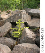 Купить «Ёлочка, растущая на камнях. Валаам.», фото № 445129, снято 6 августа 2008 г. (c) Заноза-Ру / Фотобанк Лори