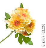 Купить «Ветка мелких оранжевый садовых хризантем, вид сбоку, изолированное изображение», фото № 452265, снято 10 сентября 2008 г. (c) Tamara Kulikova / Фотобанк Лори