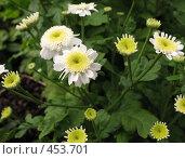 Купить «Хризантема (Chrysanthemum)», фото № 453701, снято 9 августа 2008 г. (c) Морковкин Терентий / Фотобанк Лори
