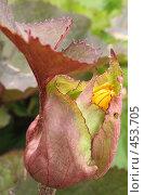 Купить «Бузульник (Crepis tectorum)», фото № 453705, снято 9 августа 2008 г. (c) Морковкин Терентий / Фотобанк Лори