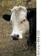 Корова. Стоковое фото, фотограф Сергей Усс / Фотобанк Лори