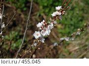 Купить «Белые цветочки», фото № 455045, снято 2 мая 2008 г. (c) Анастасия Gorkaia / Фотобанк Лори