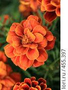 Купить «Бархатцы», фото № 455397, снято 4 сентября 2008 г. (c) Александр Секретарев / Фотобанк Лори