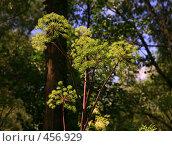 Купить «Зонтичное растение», фото № 456929, снято 12 июля 2008 г. (c) Наталья Волкова / Фотобанк Лори