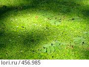Купить «Ряска на поверхности воды», фото № 456985, снято 9 августа 2008 г. (c) Дмитрий Лагно / Фотобанк Лори