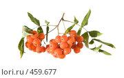 Купить «Гроздь оранжевых ягод рябины с листьями, изолированное изображение», фото № 459677, снято 15 сентября 2008 г. (c) Tamara Kulikova / Фотобанк Лори