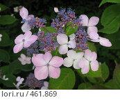 Купить «Цветущая гортензия», фото № 461869, снято 9 августа 2008 г. (c) Заноза-Ру / Фотобанк Лори