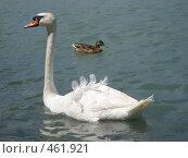Лебедь и утка. Стоковое фото, фотограф Софья Краевская / Фотобанк Лори