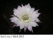 Купить «Цветок кактуса», фото № 464061, снято 30 августа 2007 г. (c) Мария Малиновская / Фотобанк Лори