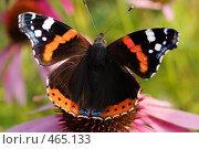 Купить «Бабочка сидит на цветке», фото № 465133, снято 6 сентября 2008 г. (c) Сергей Пестерев / Фотобанк Лори