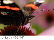 Купить «Бабочка сидит на цветке», фото № 465141, снято 6 сентября 2008 г. (c) Сергей Пестерев / Фотобанк Лори