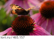 Купить «Бабочка на цветке», фото № 465157, снято 6 сентября 2008 г. (c) Сергей Пестерев / Фотобанк Лори