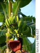 Купить «Банановая пальма с плодами», фото № 466637, снято 12 августа 2006 г. (c) Роман Бородаев / Фотобанк Лори