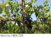 """Купить «Виноград """"Молдова"""" на фоне виноградника», фото № 469725, снято 13 сентября 2008 г. (c) Игорь Архипов / Фотобанк Лори"""