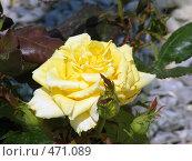 Купить «Желтая махровая роза», фото № 471089, снято 13 июня 2008 г. (c) Екатерина Басова / Фотобанк Лори
