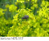 Купить «Жук на цветке», фото № 475117, снято 3 июня 2008 г. (c) Максим Рыжов / Фотобанк Лори