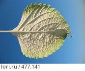 Купить «Плектрантус (plectranthus), лист макро, изнанка», фото № 477141, снято 24 сентября 2008 г. (c) Морковкин Терентий / Фотобанк Лори