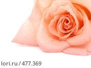 Купить «Розовая роза на белом фоне», фото № 477369, снято 29 июня 2008 г. (c) Cветлана Гладкова / Фотобанк Лори