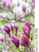 Купить «Цветы магнолии в ботаническом саду», фото № 478785, снято 2 мая 2008 г. (c) Julia Nelson / Фотобанк Лори
