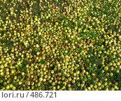 Купить «Яблоки на траве», эксклюзивное фото № 486721, снято 29 сентября 2008 г. (c) lana1501 / Фотобанк Лори