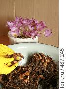 Купить «Подготовка к высодке луковиц нарцисса и осеннего крокуса», фото № 487245, снято 1 октября 2008 г. (c) Алла Матвейчик / Фотобанк Лори