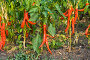 Жгучий красный перец чили, фото № 487957, снято 19 августа 2008 г. (c) Алина Акимова / Фотобанк Лори