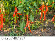 Купить «Жгучий красный перец чили», фото № 487957, снято 19 августа 2008 г. (c) Алина Акимова / Фотобанк Лори