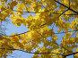 Кленовые листья, фото № 488029, снято 1 октября 2008 г. (c) Кристина Викулова / Фотобанк Лори