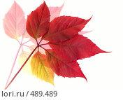Купить «Осенние листья», фото № 489489, снято 19 сентября 2018 г. (c) ElenArt / Фотобанк Лори