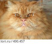 Янтарные глаза персидского кота. Стоковое фото, фотограф ElenArt / Фотобанк Лори