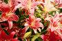 Лилии садовые, фото № 492805, снято 7 сентября 2008 г. (c) Сергей / Фотобанк Лори