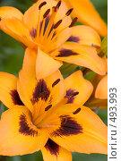 Купить «Оранжевые лилии», фото № 493993, снято 28 июня 2008 г. (c) Александр Тесевич / Фотобанк Лори