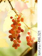 Купить «Виноград в лучах солнца», фото № 496321, снято 5 октября 2008 г. (c) Розе Андрей / Фотобанк Лори