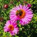 Пчела и розовый цветок, фото № 496433, снято 16 августа 2017 г. (c) Вадим Кондратенков / Фотобанк Лори