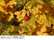 Купить «Осенний шиповник», фото № 496821, снято 5 октября 2008 г. (c) Мария Малиновская / Фотобанк Лори