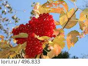 Купить «Ягоды калины осенью», фото № 496833, снято 5 октября 2008 г. (c) Мария Малиновская / Фотобанк Лори