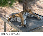 Купить «Лежащий в тени тигр», фото № 497057, снято 11 сентября 2008 г. (c) Ирина Андреева / Фотобанк Лори