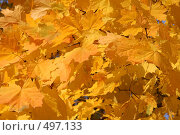 Купить «Осенний клен», фото № 497133, снято 5 октября 2008 г. (c) Голофеева Галина / Фотобанк Лори