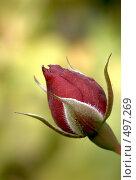 Купить «Бутон красной розы», эксклюзивное фото № 497269, снято 25 сентября 2008 г. (c) Михаил Карташов / Фотобанк Лори