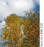 Купить «Береза осенью», фото № 498129, снято 5 октября 2008 г. (c) Юлия Подгорная / Фотобанк Лори
