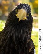 Купить «Орлан-белохвост», фото № 498633, снято 5 октября 2008 г. (c) Харитонов Сергей / Фотобанк Лори